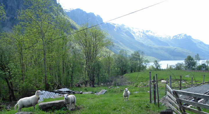 Farm Tveito Sheep
